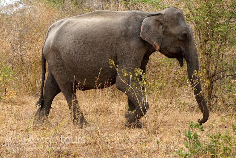 Див слон от джип сафари в Шри Ланка, (Udawalawe National Park, Sri Lanka)