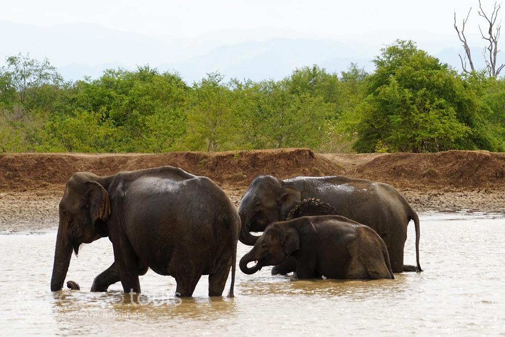 слончета в Udawalawe National Park, Sri Lanka