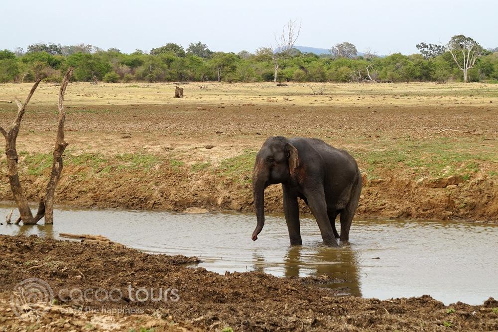 слон в  национален парк Удавалаве (Udawalawe National Park, Sri Lanka)