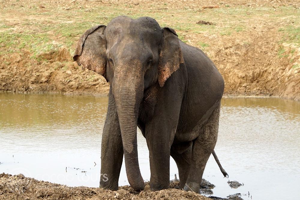 слонче в  национален парк Удавалаве (Udawalawe National Park, Sri Lanka)