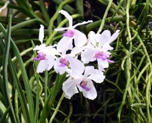 Орхидея за моминско парти