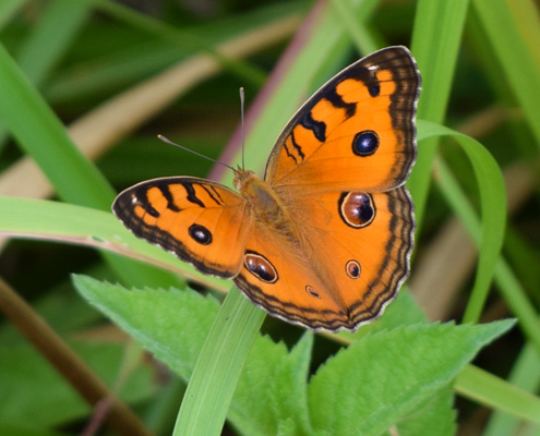 пеперуда във Виетнам