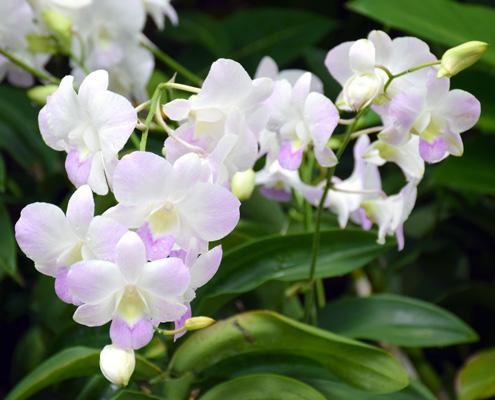 Орхидея за сватбена церемония в чужбина