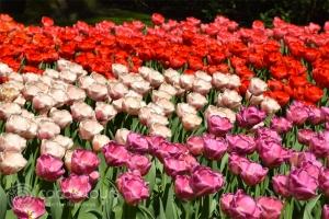 Цветна поляна с лалета